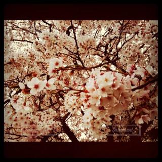 春,桜,花見,満開,シーズン,pink,ぴんく,桜 チェリーブロッサム