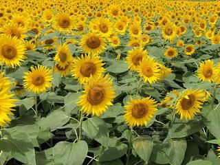 夏,ひまわり,黄色,向日葵