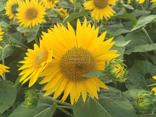 公園,夏,屋外,ひまわり,黄色,向日葵