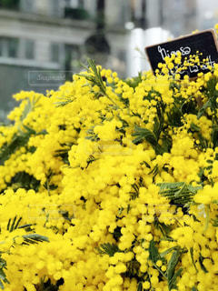 黄色,鮮やか,たくさん,ミモザ,草木