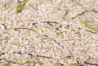 満開の桜の写真・画像素材[1826415]