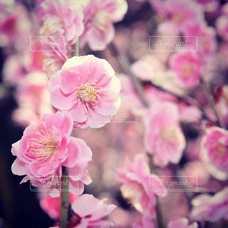 近くの花のアップの写真・画像素材[1809727]