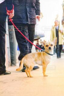 男性,犬,動物,チワワ,屋外,海外,赤,散歩,いぬ,外,イタリア,お散歩,カメラ目線,わんちゃん,イヌ,リード
