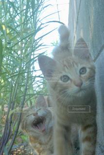 カメラを見ている猫の写真・画像素材[2291457]