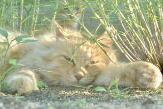 草の上に横たわる猫の写真・画像素材[2291460]