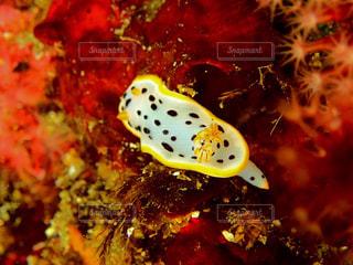 海,黄色,水中,海底,黄色いウミウシ!