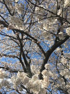 三春滝桜の写真・画像素材[1810930]