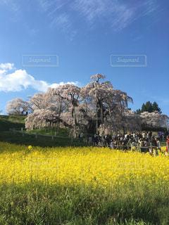 三春滝桜と菜の花の写真・画像素材[1810958]