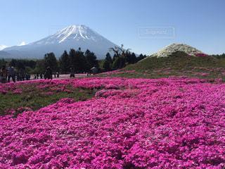 富士山と芝桜の写真・画像素材[1814251]