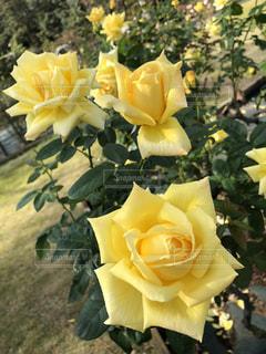 花,屋外,黄色,バラ,薔薇,樹木,ローズ,草木,ガーデン