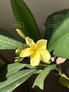 花,黄色,プルメリア,草木