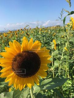 風景,空,夏,屋外,黄色,向日葵,草木