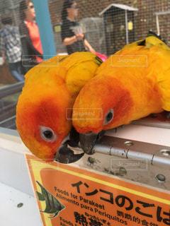 黄色い鳥の写真・画像素材[1829371]