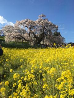 風景,空,桜,屋外,黄色,菜の花