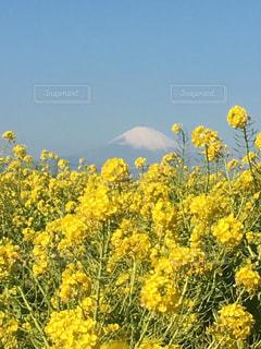 風景,空,富士山,屋外,黄色,菜の花