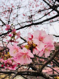 河津桜の写真・画像素材[1834765]