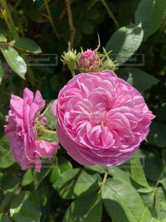 春,屋外,綺麗,バラ,鮮やか,薔薇,樹木,ローズ