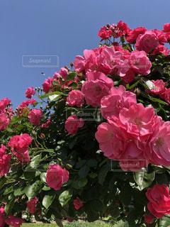 春,綺麗,バラ,薔薇,樹木,ローズ