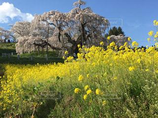 春,桜,屋外,綺麗,菜の花,鮮やか,満開,ブロッサム,三春の滝桜