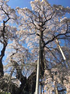 春,桜,屋外,綺麗,鮮やか,満開,ブロッサム,三春の滝桜