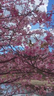 春,桜,屋外,綺麗,鮮やか,満開,河津桜,ブロッサム