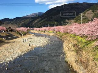 河津桜の写真・画像素材[1834792]