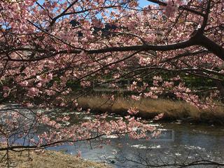 春,桜,屋外,綺麗,川,水辺,鮮やか,満開,河津桜,ブロッサム
