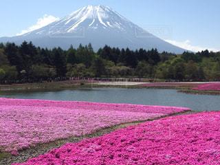 芝桜の写真・画像素材[1861970]