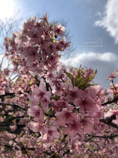 桜の写真・画像素材[1885418]