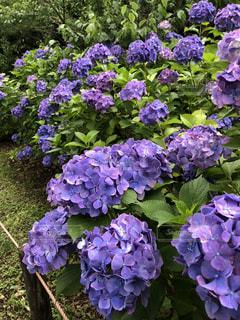 紫陽花の写真・画像素材[1885461]