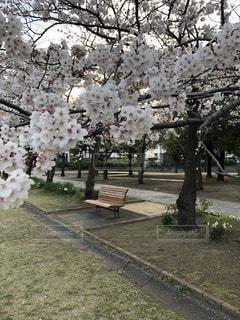 桜満開の写真・画像素材[1986403]