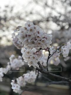 桜の写真・画像素材[1986425]