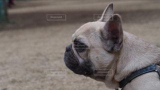 カメラを見て犬の写真・画像素材[1811784]