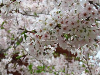 桜の写真・画像素材[1812683]