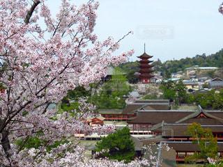桜,花見,宮島,厳島神社
