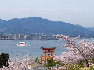 宮島の桜の写真・画像素材[1832923]