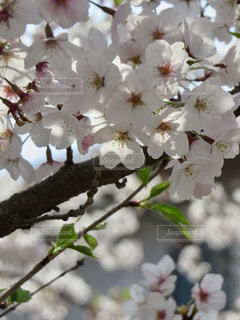 桜の写真・画像素材[2001925]
