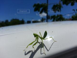 自然,夏,海外,アメリカ,旅行,昆虫,海外旅行,かまきり,インスタ映え