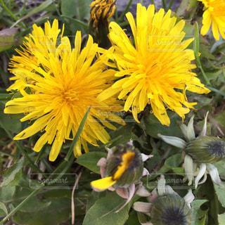 花,黄色,たんぽぽ