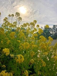 自然,風景,空,花,春,夕日,木,屋外,緑,植物,雲,綺麗,晴れ,フラワー,黄色,幻想的,夕方,お花,美しい,樹木,夕陽,色,草木,色・表現