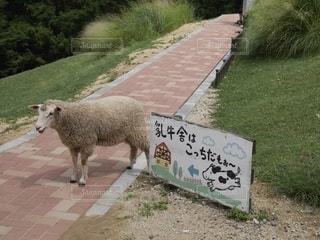 道路の上に立つ羊の写真・画像素材[2794846]