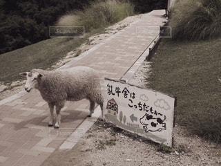 道を歩いている羊の写真・画像素材[2906171]