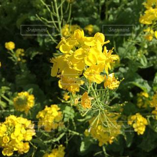 花,春,黄色,菜の花,イエロー,きいろ