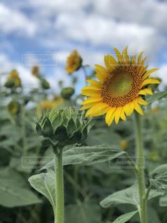 花,ひまわり,黄色