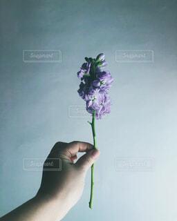 一輪のうす紫色の花を持つの写真・画像素材[4317886]