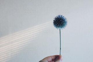 紫色の花 エキノプス 光線の写真・画像素材[4318033]