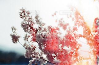 花,春,桜,花見,お花見,フィルム写真,さくら,感光