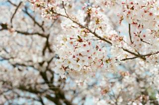 花,春,桜,ピンク,花見,お花見