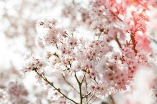 花,春,桜,ピンク,花見,お花見,さくら,感光