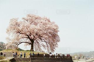 風景,花,春,桜,花見,お花見,山梨,一本桜,さくら